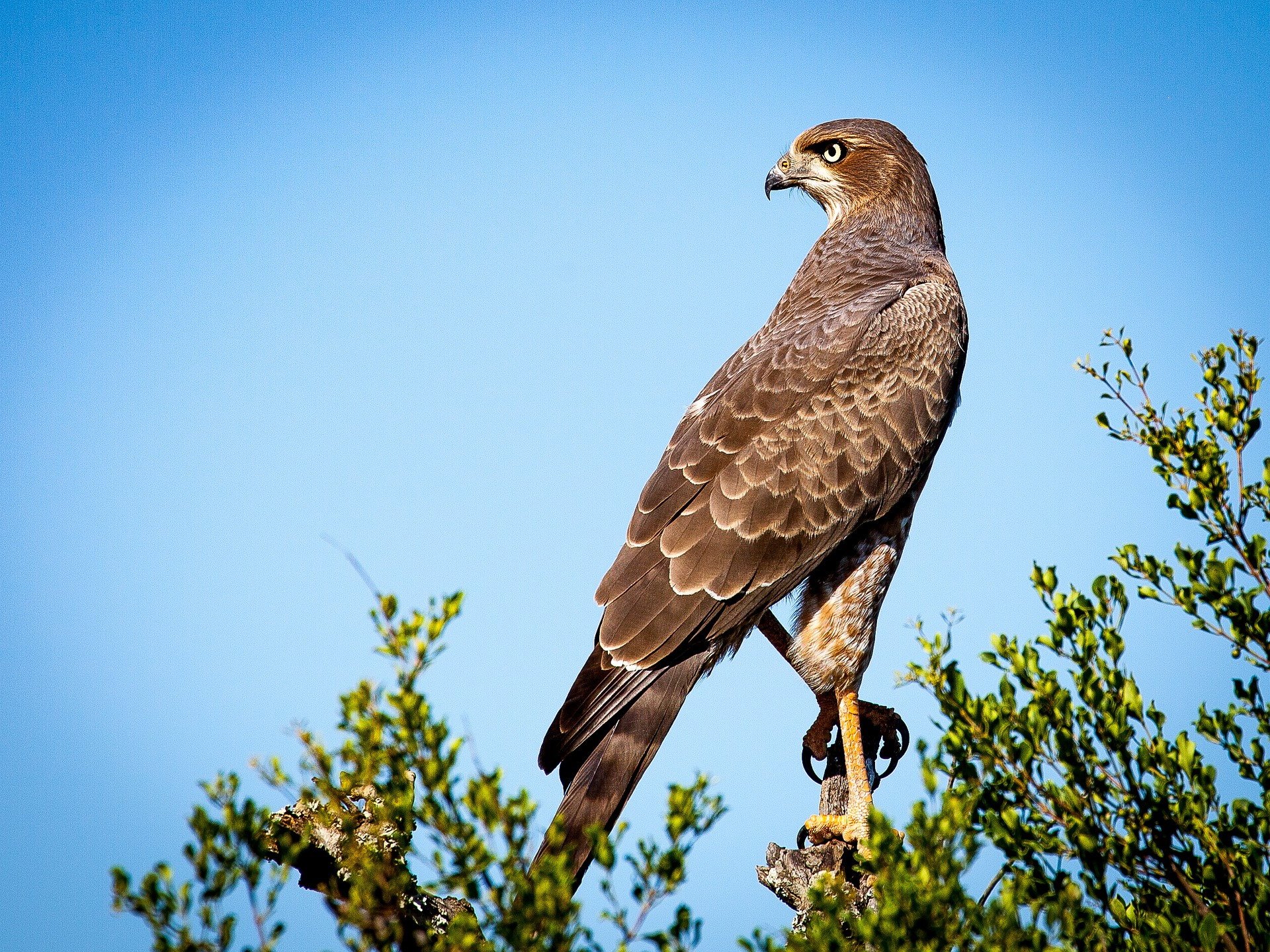bird-of-prey-1544985_1920