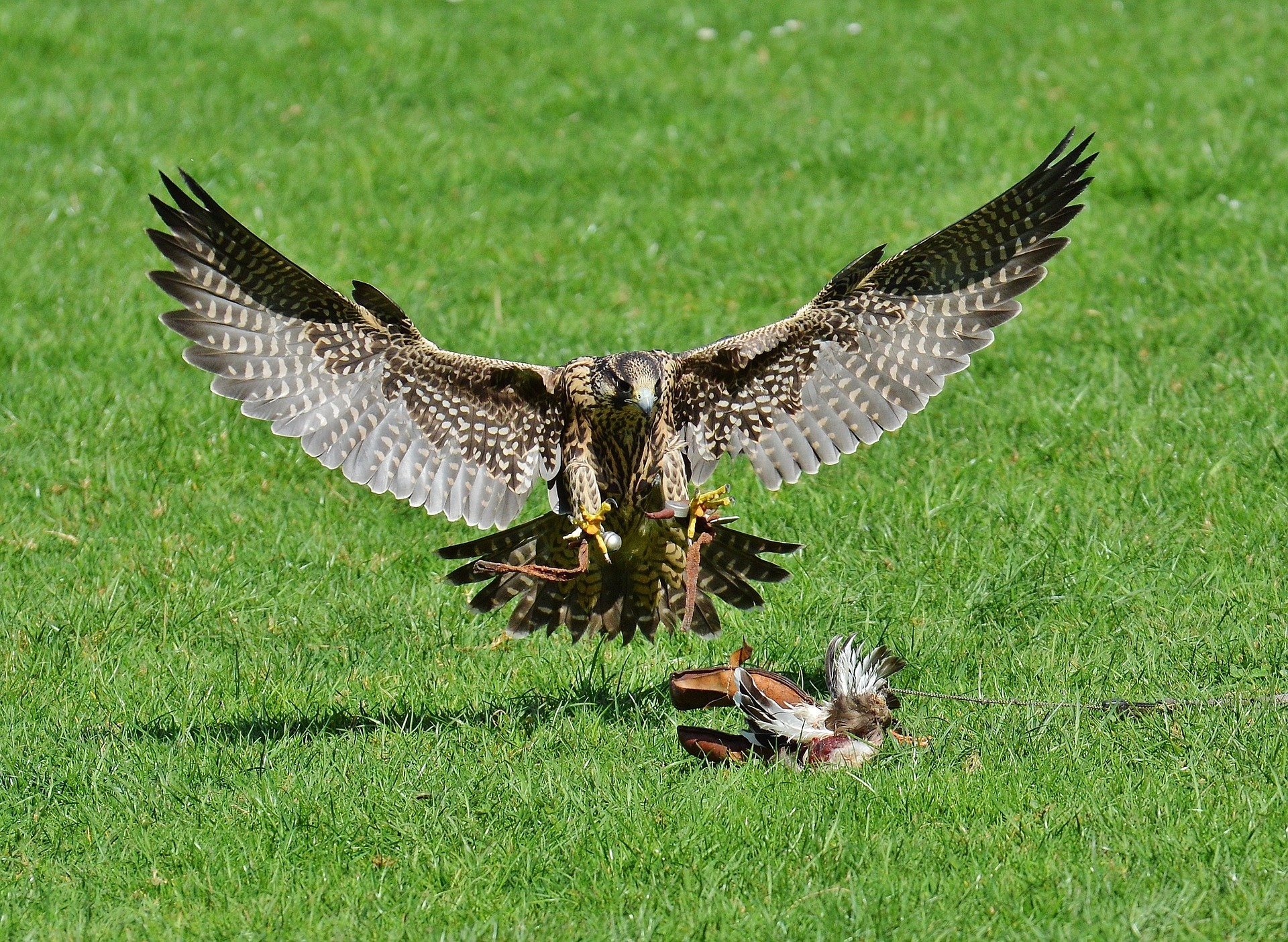 falcon-1325785_1920